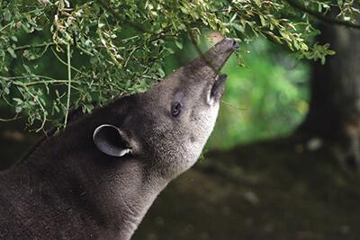 Tapir Branféré