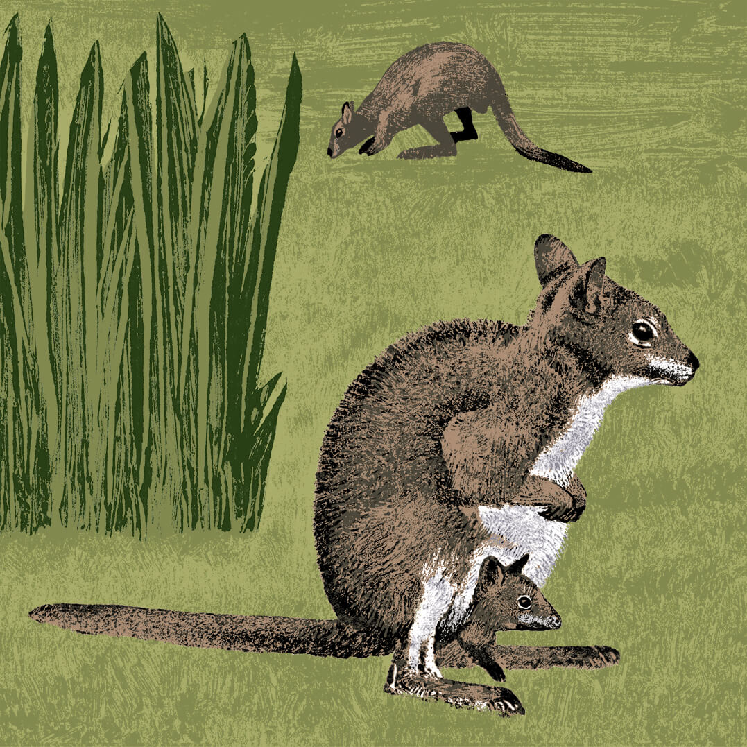 wallaby de parme branféré
